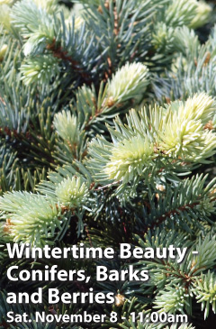 Wintertime Beauty - Conifers, Barks and Berries