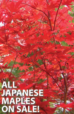 All Japanese Maples on Sale!