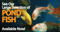 See Our Large Selection of Pond Fish!
